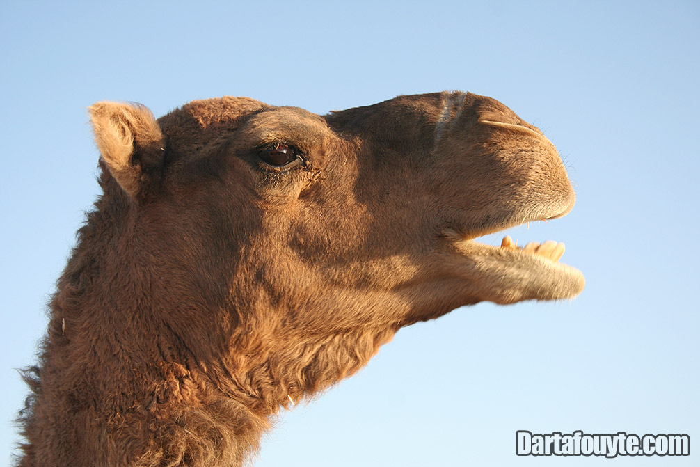 Photos, Camel Head Morocco